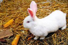 Free White Rabbit Royalty Free Stock Photo - 18747875