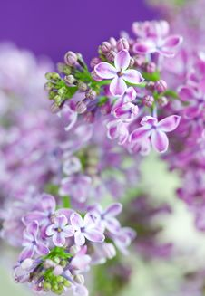 Free Lilac Royalty Free Stock Images - 18749369