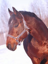 Free Winter Portrait Of Bay Horse Royalty Free Stock Image - 18754206