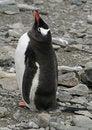 Free Gentoo Penguin 20 Stock Photos - 18759033