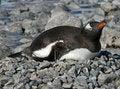 Free Gentoo Penguin 28 Stock Photo - 18759700