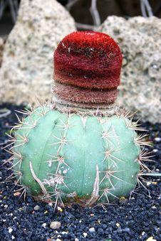 Free Cactus Royalty Free Stock Image - 18750216