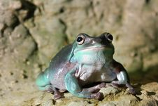 Free Colorful Green Frog Royalty Free Stock Photography - 18750817