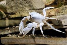 Free River Crab Potamon Sp. Royalty Free Stock Images - 18750899