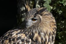 Free Eagle Owl Royalty Free Stock Image - 18751016