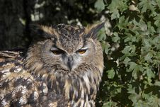 Free Eagle Owl Royalty Free Stock Photography - 18751087