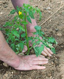 Free Setting Out Tomato Plant 2 Royalty Free Stock Photos - 18751608