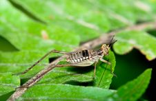 Free Brown Cricket Macro Royalty Free Stock Photos - 18751908