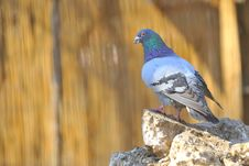 Pigeon On Rocks Royalty Free Stock Photo