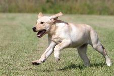 Free Labrador Puppy Running In A Meadow Royalty Free Stock Photos - 18752668