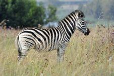 Free Zebra Stock Images - 18752694