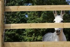Free Portrait Of A Donkey Behind The Fence Stock Photo - 18752910