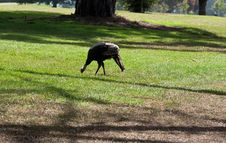 Free Wild Turkey Stock Image - 18753621