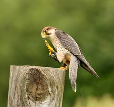 Free Lanner Falcon Stock Photos - 18753653