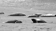 Free Elephant Seals Barking At Each Other Stock Image - 18753841