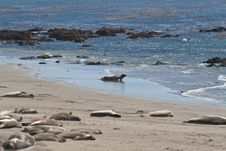Free Elephant Seals Sleeping And Swimming Royalty Free Stock Image - 18753866