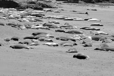 Free Elephant Seals Sleeping Stock Photos - 18753883