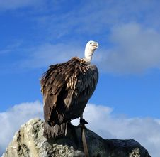 Free Vulture Watch Royalty Free Stock Images - 18753969