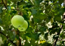 Apples On A Tree Stock Images