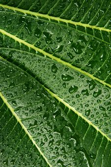 Free Plumeria Leaf  Wet Royalty Free Stock Photo - 18754095