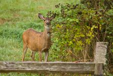Free White-tailed Deer Doe Stock Photography - 18754402