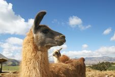 Free Llama Stock Photography - 18755002