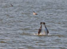 Free Great Crested Grebe´s Mating Dance Stock Photos - 18757173