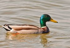 Free Close-up Of A Male Mallard Royalty Free Stock Photos - 18757268