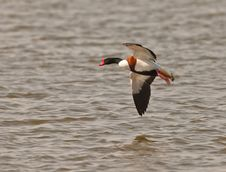 Free Male Shelduck In Flight Royalty Free Stock Image - 18757276