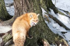 Free Red Fox Stock Photos - 18757933