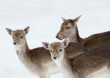 Free Trio Of Deer Royalty Free Stock Image - 18757936