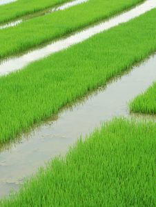 Free Rice Paddy Stock Images - 18757954