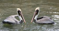 Free Brown Pelicans Stock Images - 18758014
