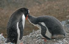 Free Gentoo Penguin And Chick 2 Royalty Free Stock Images - 18758569