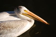 Free Pelican Stock Photos - 18758643