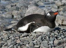 Free Gentoo Penguin 28 Stock Photo - 18759700