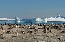 Free Gentoo Penguin Colony 3 Stock Photo - 18759830
