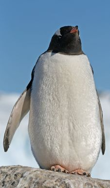 Free Gentoo Penguin 33 Stock Photography - 18759922