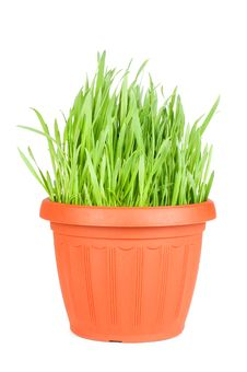Free Green Grass In A Pot Isolated On A White Stock Image - 18759971