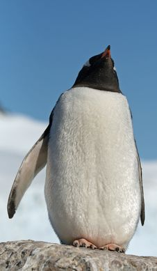 Free Gentoo Penguin 36 Royalty Free Stock Images - 18759989