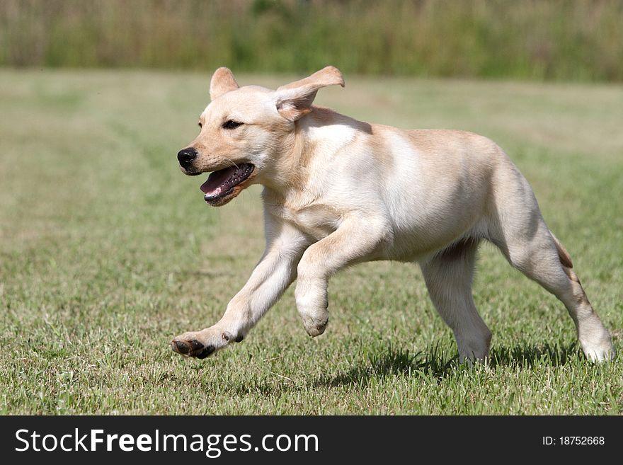 Labrador puppy running in a meadow