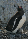 Free Gentoo Penguin And Chick Stock Images - 18760134