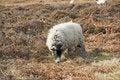 Free Sheep Grazing On Moorland Royalty Free Stock Photos - 18764198