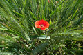 Free Wheat And Poppies Royalty Free Stock Photo - 18769605