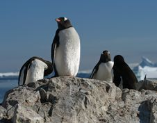 Gentoo Penguins 2 Royalty Free Stock Photos