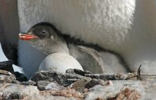 Free Gentoo Penguin Chick 32 Royalty Free Stock Image - 18760316