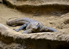 Free Komodo Dragon Stock Image - 18761561