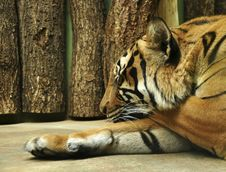 Free Tiger Royalty Free Stock Photos - 18761678