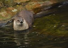 Free Otter Royalty Free Stock Images - 18761729