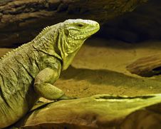 Free Green Lizard Stock Image - 18761751